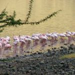 Flamingos on the shoreline
