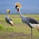 http://kenyanphotosafari.com/africa_images/birds/content/grey_crowned_crane_pair_large.html