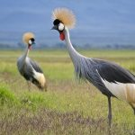 http://kenyanphotosafari.com/africa_images/birds/content/grey_crowned_crane_pair_large.html