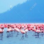http://www.123rf.com/photo_10730625_flamingo-birds-in-the-lake-nakuru-african-safari-kenya.html