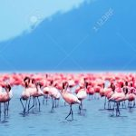 http://www.123rf.com/photo_10730625_flamingo-birds-in-the-lake-nakuru-african-safari-kenya.html