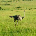 Masai Mara Forest Reserve a heaven for animal lovers. Situated in the east African region hosts to some wonderful creatures. These are a group of wild Ostrich