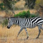 http://www.123rf.com/photo_13869754_zebra-with-birds-on-her-back-masai-mara-kenya.html