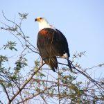 At Lake Naivasha in Kenya you can often watch the African fish eagle