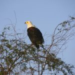 At Lake Naivasha in Kenya you can often watch the African fish eagle