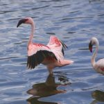 In Africa, Kenya, at Lake Bogoria you can find lots of flamingos, because of the salty lake