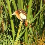 At Naivasha Lake in Kenya there are many different birds hidden in the grass at the banks