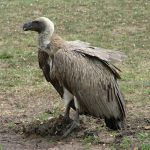 Vulture (Tsavo West, Kenya)