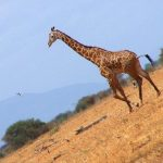 Taken on safari in East Tsavo Wildlife Reserve in Kenya