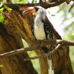 In the national parks of Kenya you can see different kinds of hornbills