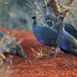 http://antpitta.com/images/photos/non-neotropics/kenya/aug-sep-2012-birds/gallery_kenya_2012_birds1.html