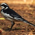 http://aviansafaris.com/birding-kenya/kenya-bird-watching-tours/westerly-birdwatching-16-days