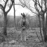 Grévy's zebra is the largest type of zebras