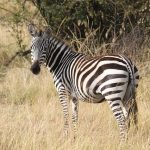 Grassland is one of the habitats of zebras