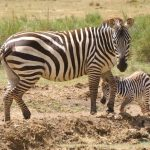Selous' zebra is a type of plains zebra