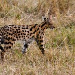 The most famous Kenyan animals are the Big Five