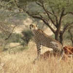 The cheetah can run as fast as 120.7 km/h