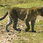 Cheetah can run faster than any other land animal
