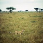 The last significant population of cheetahs remain in East and Southern Africa and are represented by different subspecies