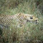 Global wild cheetah population is estimated to be 7,500 with the last significant populations remaining in Southern and East Africa
