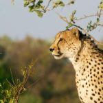 Global wild cheetah population is estimated to be 7,500 in numbers with the last significant populations remaining in Southern and East Africa