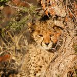Global wild cheetah population is estimated to be 7,500 in numbers wherein the East and South African population of cheetahs are represented by different subspecies