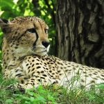 Over the years cheetahs have greatly reduced due to human population increase
