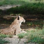 Over the years cheetahs have greatly reduced in numbers due to conflicts with people