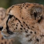 Over the years cheetahs have greatly reduced in numbers due to an increase in the human population that has led to habitat loss, a reduction in prey base and conflicts with people
