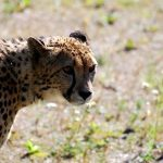 Over the years cheetahs have greatly reduced due to an increase in the human population that has led to habitat loss, and conflicts with people