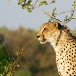 Over the years cheetahs have greatly reduced due to an increase in the human population that has led to habitat loss, as well as conflicts with people