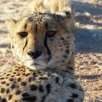 Over the years cheetahs have greatly reduced in numbers due to loss of habitat, conflicts with people, and diseases
