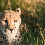 Over the years cheetahs have greatly reduced due to loss of habitat, conflicts with people, and diseases