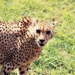 Over the years cheetahs have greatly reduced in numbers due to habitat loss, conflicts with people, as well as diseases