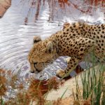 Cheetahs do not avoid water but swim across rivers