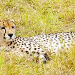 Over the years cheetahs have greatly reduced in numbers due to human population increase that has led to habitat loss, a reduction in prey base, diseases and poorly managed tourism