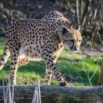 Cheetahs are resident now in around 23% of their range in Kenya