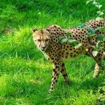 Cheetahs are resident now in 23% of their range in Kenya