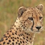 Cheetahs were widely distributed across Kenya in the past but are resident now in 23% of their range