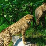 "The cheetah is considered ""Vulnerable"""