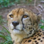 The cheetah doesn't avoid water but swims across rivers