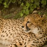 Cheetahs are amongst the most elusive as well as beautiful of African animals