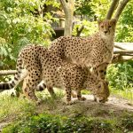 The cheetah is amongst the most elusive as well as beautiful of African animals