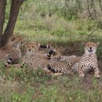 The cheetahs hunt alone or in group