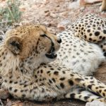 Cheetah hunts alone or in group