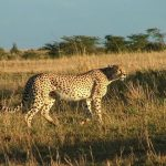 The cheetah doesn't avoid water