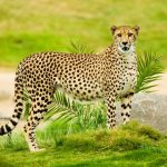 The cheetah hunts both alone and in group