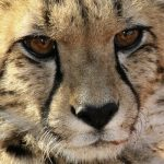 A cheetah hunts both alone and in group