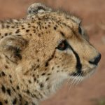 The cheetah does not avoid water