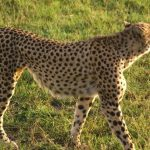 Global wild cheetah population is estimated to be 7,500